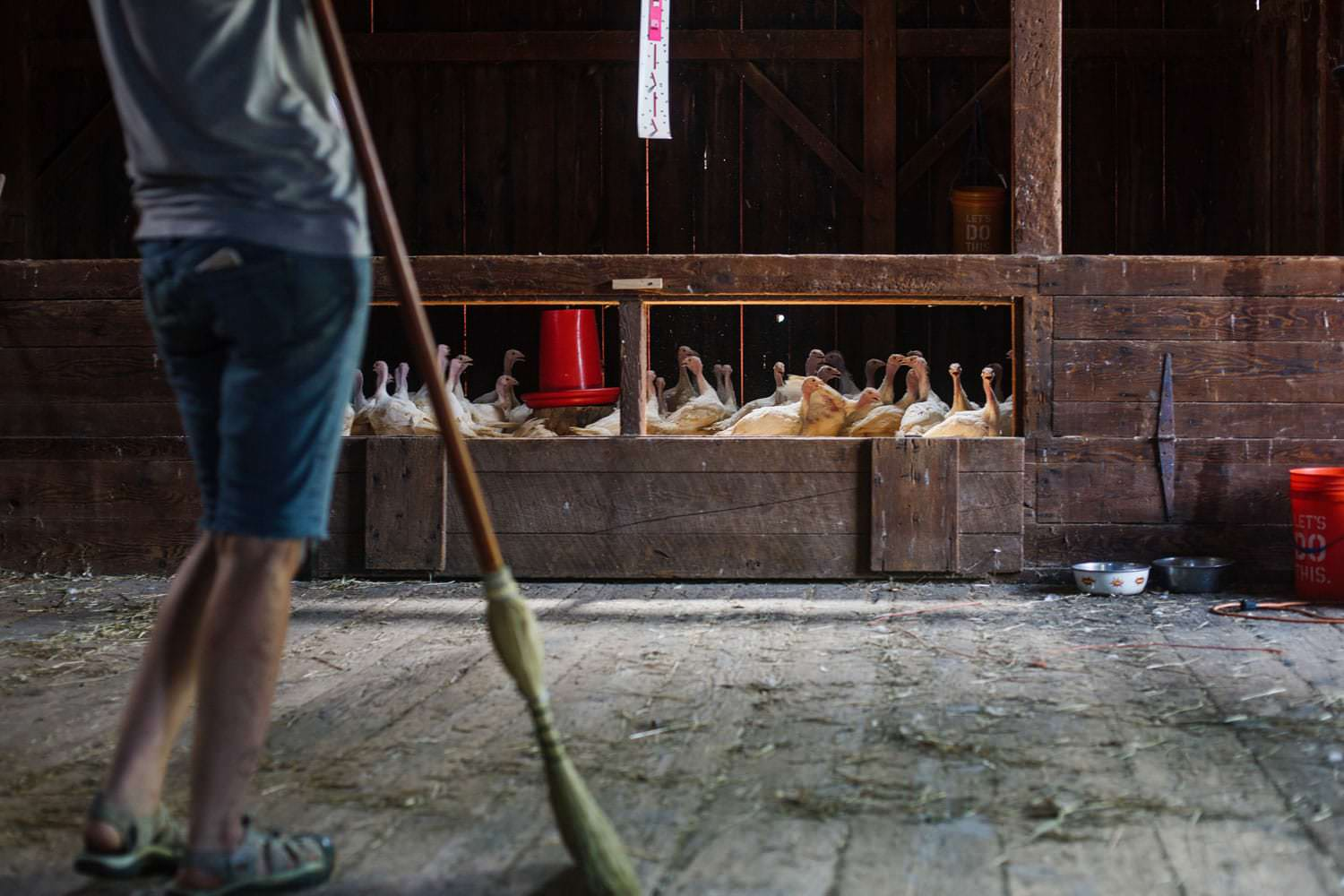 photographer canaan new york farm photography turkey poults