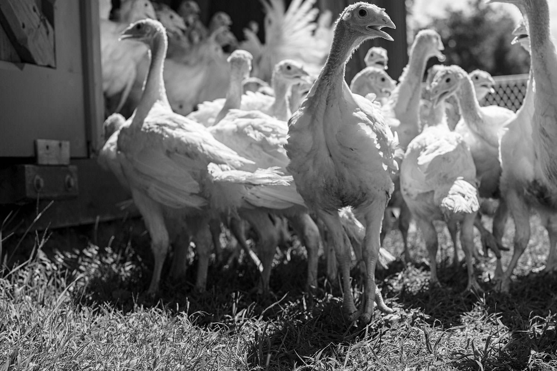 photographer canaan new york farm photography turkey poults