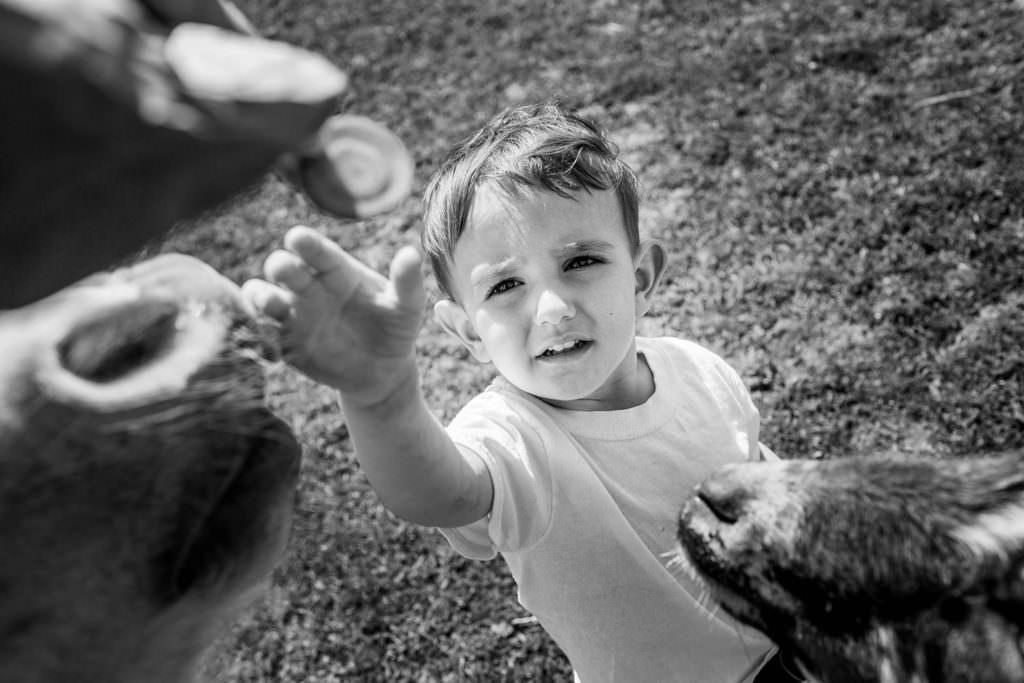 berkshire hudson valley family photography feeding the animals at love apple farm